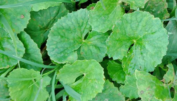 Centella asiatica benefits
