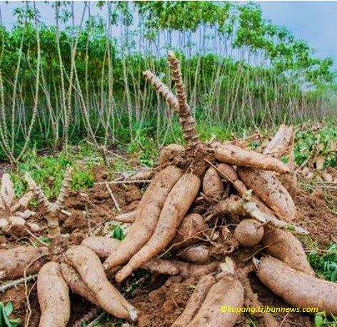 edible roots in Indonesia