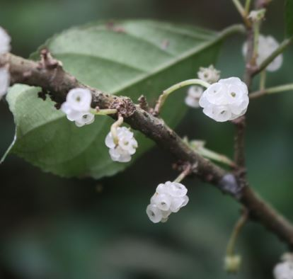 nangsi legion botanica