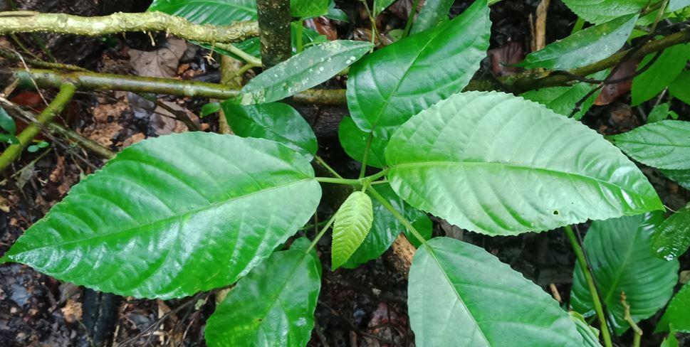 Pulus Dangerous plant