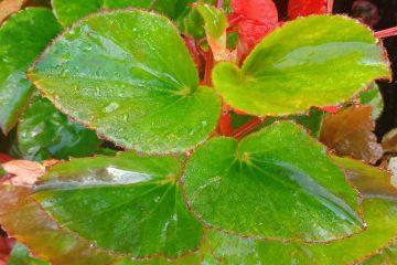 begonia survival plants