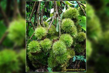 Native Indonesian wild fruit
