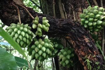 Kadsura scandens - Wild Edible Liana Fruits