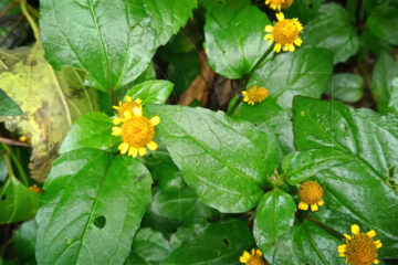 Natural Anesthetic Plant