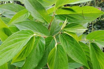 wild medicinal plant